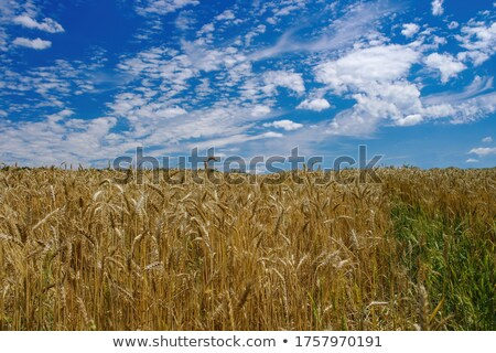 Mező tele arany búza nyáridő nyár Stock fotó © lypnyk2