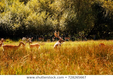 fallow deer family grazing on meadow stock photo © taviphoto