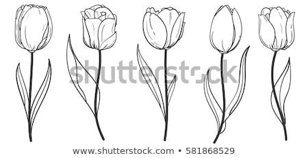 黒白 チューリップ 庭園 花 自然 緑 ストックフォト © jeancliclac