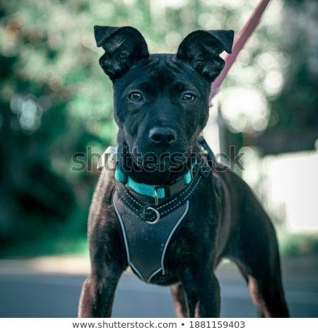 Belo cachorro boxeador câmera Foto stock © goroshnikova