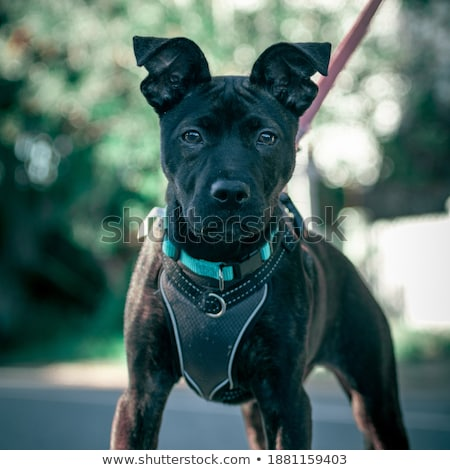 Hermosa cachorro raza boxeador cámara primer plano Foto stock © goroshnikova