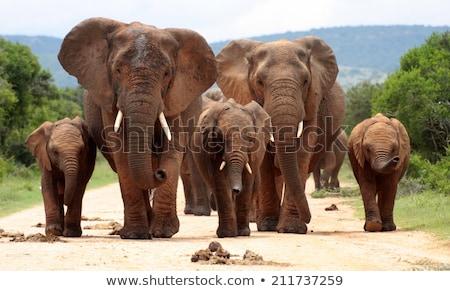 Fiatal elefánt sétál kamera park Dél-Afrika Stock fotó © simoneeman