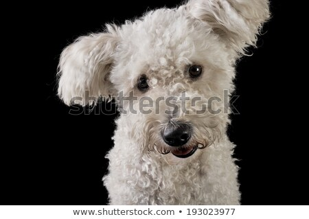 Stock photo: lovely mixedbreed white dog in the black background looking at t