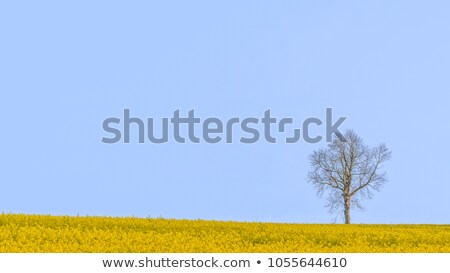 lone tree rapeseed field   south downs stock photo © rtimages