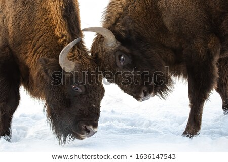 two males european bisons fighting Stock photo © taviphoto