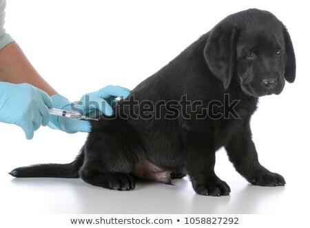 Cute labrador puppy hond vaccin veeartsenijkundig Stockfoto © ilona75