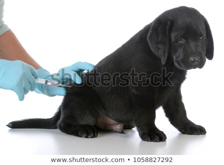 cute · labrador · chiot · chien · vaccin · vétérinaire - photo stock © ilona75