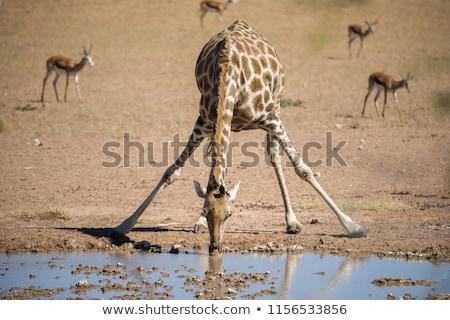Foto stock: Três · girafas · água · potável · ilustração · fundo · campo