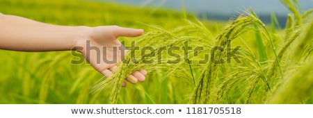 Ripe ears of rice in a woman's hand. Products from rice concept. Rice flakes, flour, drink, rice sak stock photo © galitskaya