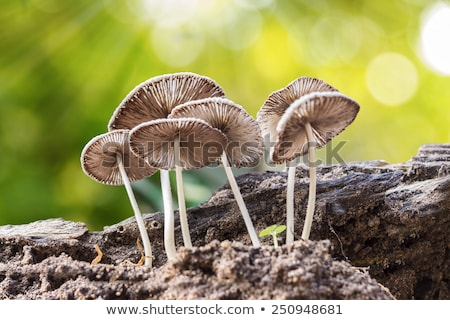poisonous mushroom grows from log Stock photo © romvo