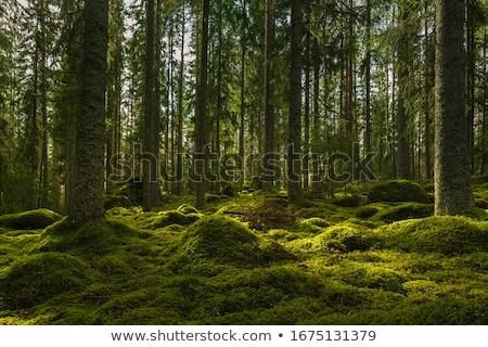 Fenyőfa erdő kövek zöld moha Stock fotó © dmitry_rukhlenko