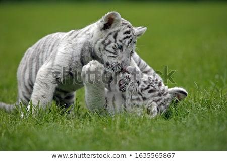 beyaz · kaplan · hayvanat · bahçesi · doğa · hayvan - stok fotoğraf © ivz