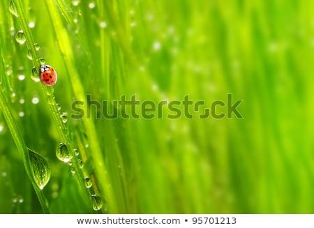 joaninha · verde · natureza · jardim · primavera · olho - foto stock © sweetcrisis