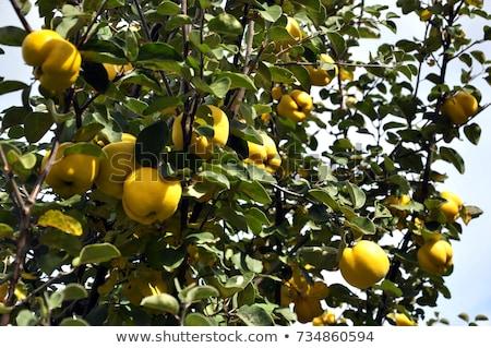 айва плодовое дерево дерево молодые фрукты текстуры Сток-фото © Kuzeytac