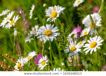 Insect on daisy Stock photo © RTimages