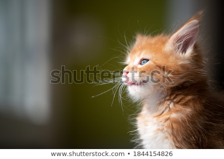 gatito · blanco · animales · hermosa · suave - foto stock © foka