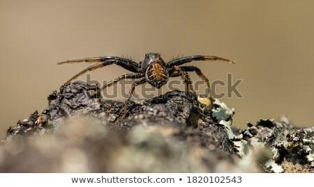 orb weaver spider behind a web stock photo © rhamm