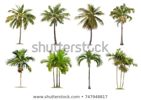coconut tree isolate on white Stock photo © Lekchangply