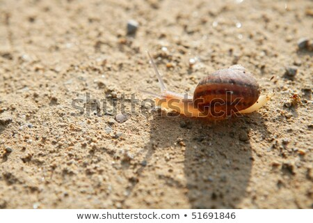 Brown snail backlight  clay desert soil Stock photo © lunamarina