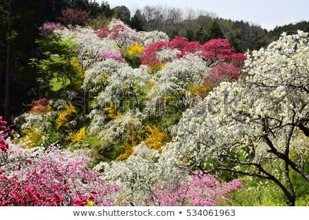Pêssego flores rosa flor borrão primavera Foto stock © varts