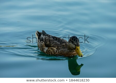 photos · sauvage · canard · lac · Slovénie · détaillée - photo stock © 1Tomm