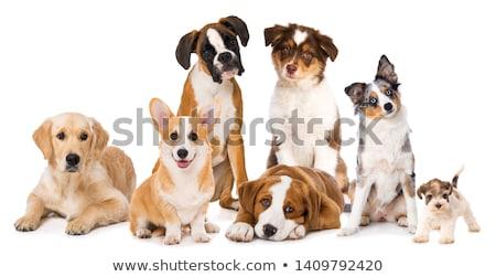 kutyák · fajtiszta · fehér · anya · fekete · fiatal - stock fotó © cynoclub