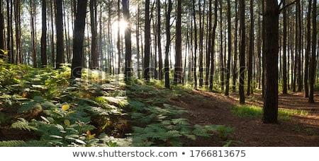 footpath through a pine forest stock photo © meinzahn