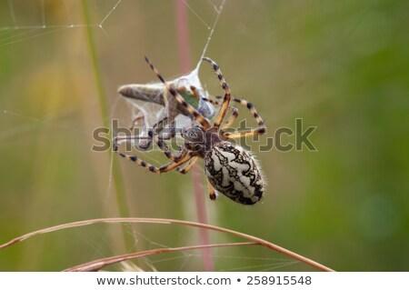 Caccia spider bella bug ambiente macro Foto d'archivio © t3rmiit