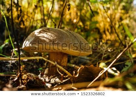 Betulla sole funghi crescere verde muschio Foto d'archivio © romvo