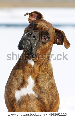 Dog brindle boxer in collar winter white background, listening i Stock photo © goroshnikova