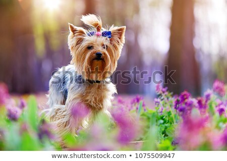 Yorkshire Terrier looking out of the picture stock photo © vauvau