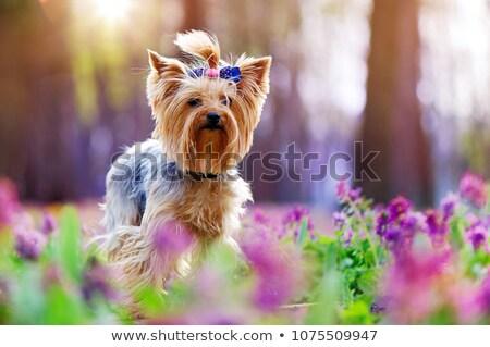 yorkshire · terrier · retrato · oscuro · estudio · feliz - foto stock © vauvau