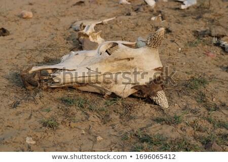 雄牛 頭蓋骨 フィールド 空 ストックフォト © IS2
