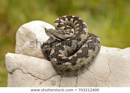 Vipera ammodytes basking on limestone rock Stock photo © taviphoto