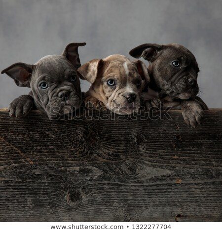adorable american bully puppies in a wooden box Stock photo © feedough