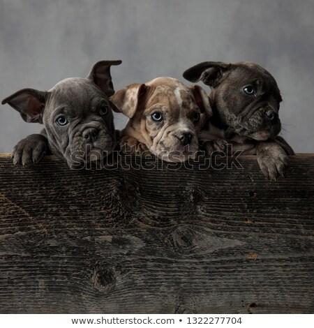 愛らしい · アメリカン · 子犬 · 木製 · ボックス · グレー - ストックフォト © feedough