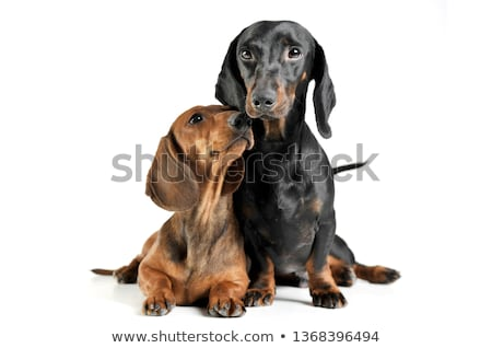 Studio shot of two adorable Dachshund Stock photo © vauvau
