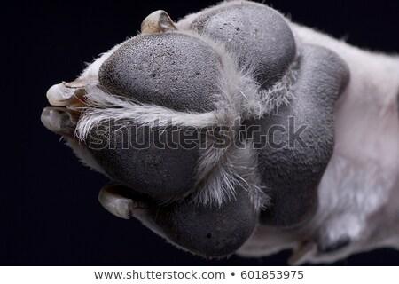 Schließen erschossen paw isoliert schwarz Stock foto © vauvau