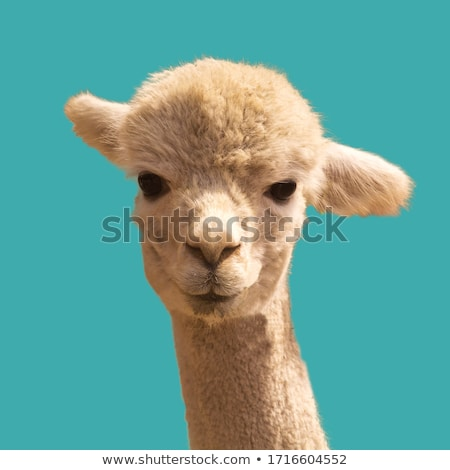 White Llama with a funny look Stock photo © photoblueice