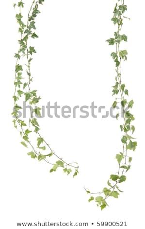 ツタ 白 緑 クローズアップ 自然 葉 ストックフォト © elenaphoto