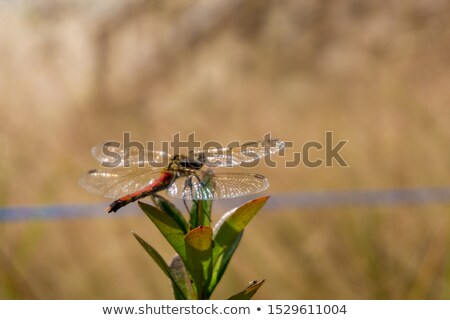 Red Dragonfly on green Grass Stock photo © azamshah72