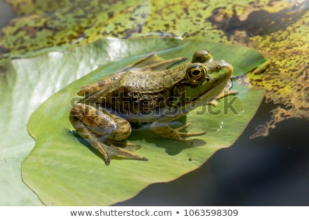 сидят воды пруд лягушка Сток-фото © brm1949