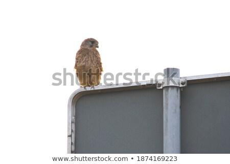 falco in urban area Stock photo © taviphoto