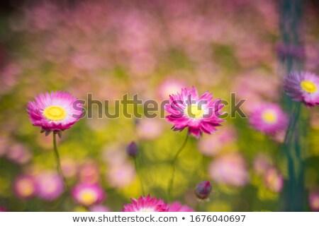 австралийский · желтый · бумаги · Daisy · цветок · отражение - Сток-фото © byjenjen