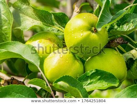 Juicy apple in closeup Stock photo © Dionisvera