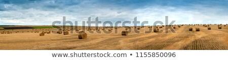 Saman mısır alanları hasat yaz alan Stok fotoğraf © monticelllo