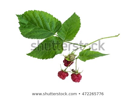 Ripening Rasberry Stock photo © brm1949