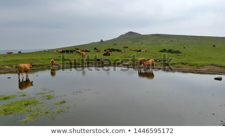 cows having a rest on dartmoor england stock photo © latent