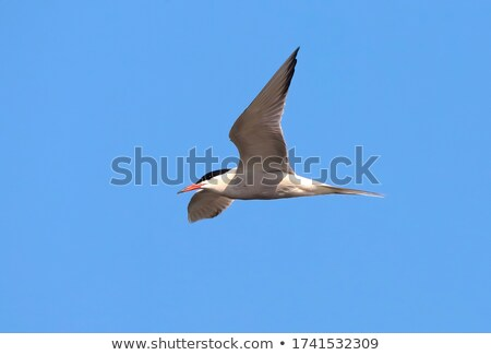 common tern flying over swamps Stock photo © taviphoto