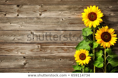 Zonnebloemen vol bloeien zomer natuur veld Stockfoto © premiere